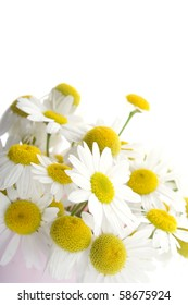 Flowers daisies isolated on white background