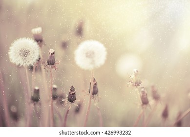 Flowers of the dandelion in the evening at sunset