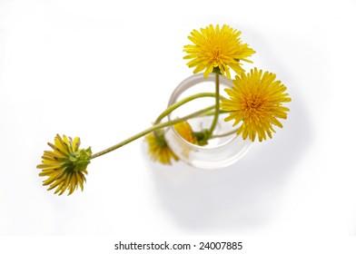 Flowers of dandelion in vase background macro