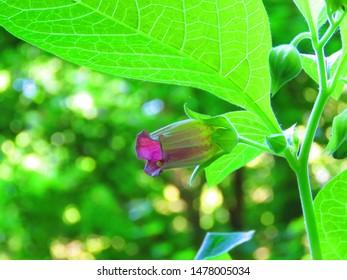 flowers of deadly nightshade, Atropa belladonna,