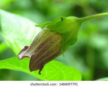 Belladonna Flower Images Stock Photos Vectors Shutterstock