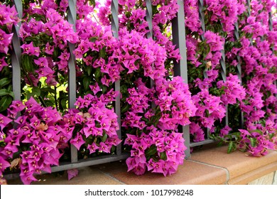 Flowers, decorating a fence.