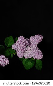 Flowers of decorative terry lilac lilac in a dark key on a black background.Lilac for the background