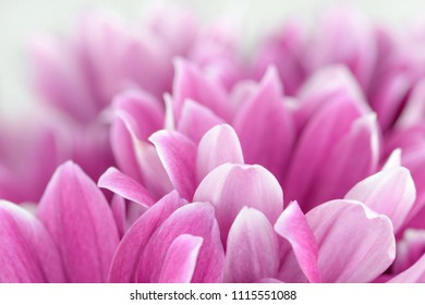 Flowers design. Sweet flowers petal in soft style for background. Pink flower petals.