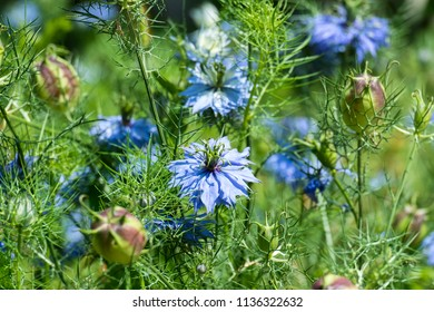 Flowers of devil in the bush. Gently blue flowers of ragged lady (Nigella damascena)