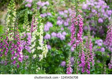 Flowers digitalis purpurea