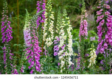 Flowers digitalis purpurea
