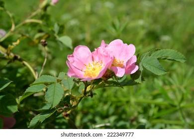 Flowers of a dogrose dog (rose dog, rose of Kanin) (Rosa canina L.)