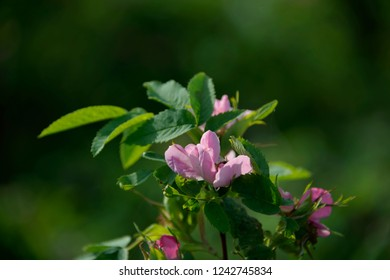 FLOWERS -  dogrose on green background