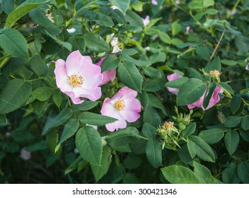 Flowers of dog-rose rosehip growing in nature