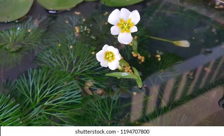 flowers of egeria densa