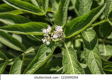Flowers of elderberry, Sambucus ebulus, danewort