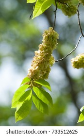 Flowers of Elms, Karagach. Elm Tree, fruits of the elm tree