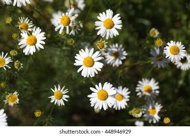 Flowers of a false chamomile (Tripleurospermum inodorum)