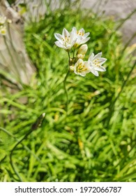Flowers of false garlic plant, Nothoscordum gracile, growing in Vilagarcia de Arousa, Galicia, Spain