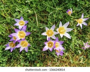 Flowers of false saffron, Romulea bulbocodium, growing on meadows in Galicia, Spain