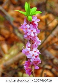 flowers of February daphne, Daphne mezereum,