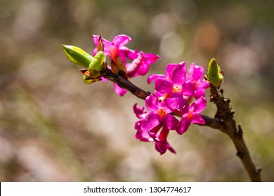flowers of February daphne, Daphne mezereum in blooming