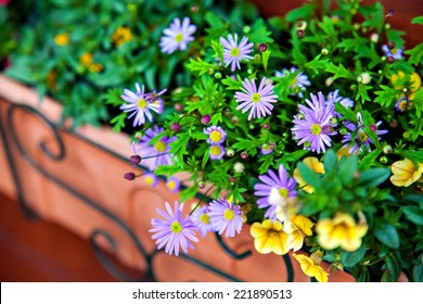The flowers of felicia and petunia in pot on balcony
