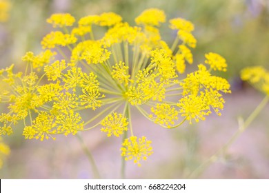 Flowers of fennel