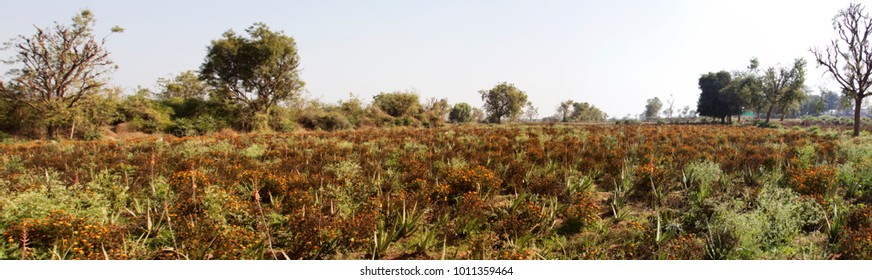 a flowers field with alovera