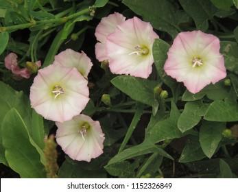 flowers of field bindweed, Convolvulus arvensis