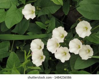 flowers of field bindweed, Convolvulus arvensis,