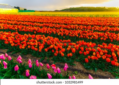 Flowers field in Holland at the springtime