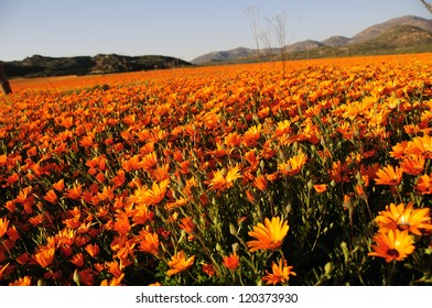 Flowers in the field in Namaqualand - South Africa