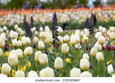 Flowers - A field of white tulips in spring with Persian Lily