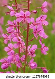 flowers of Fireweed, Chamaenerion angustifolium,