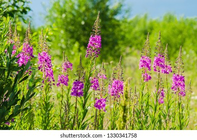 Flowers fireweed, epilobium,  Ivan-tea against a green meadow and sky with clouds, healthy food, traditional medicine.