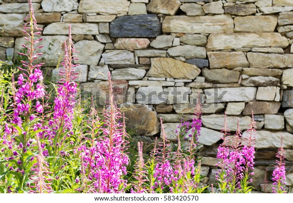 Flowers of fireweed at stone wall background. Garden blooming at spring / summer. Blossom