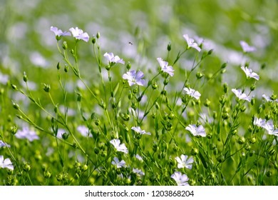 flowers of flax in a large field, a summer's day, so growing flax