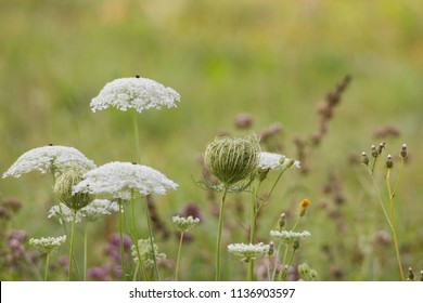 flowers and flower buds of wild carrot