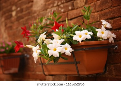 Flowers in a flower pot on a brick wall. Tuscany, Italy