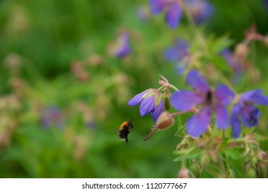 FLOWERS: the flying bumblebee over a lilac flower - a green background
