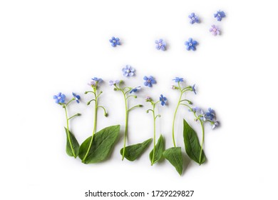 Flowers of forget me not on white background