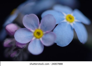 Flowers of forget-me-not  background macro
