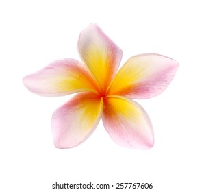 flowers frangipani (plumeria) isolated on white background.