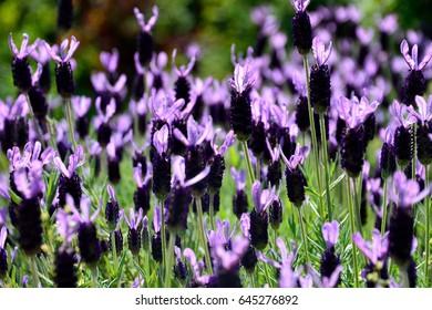 Flowers of French lavender or Lavandula stoechas