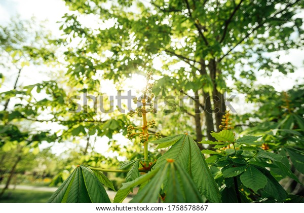 Flowers and fruits of a chestnut tree with sun