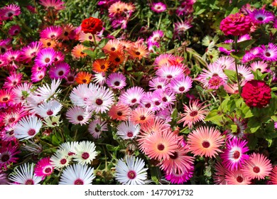 The flowers in the garden. Aizoaceae Martynov, flowering plants ( ice plants or carpet weeds ) Livingston-daisies, daisy