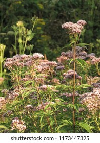 flowers of garden valerian, Valeriana officinalis,