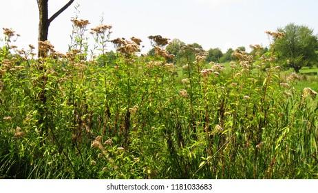 flowers of garden valerian, Valeriana officinalis,