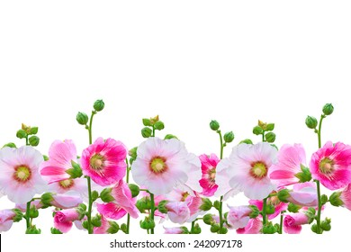 Flowers in the garden,Flowers Holly Hock (Hollyhock) pink closeup isolated on white background