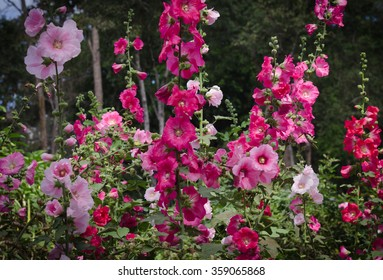 Flowers in the garden,Flowers Holly Hock (Hollyhock) or (Mallow)