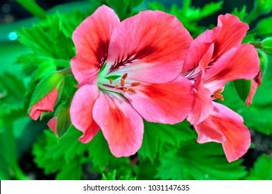 Flowers of a geranium.