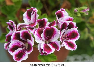 Flowers of a geranium of claret color close up.