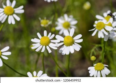 Flowers of the German chamomile, Matricaria chamomilla, Bavaria, Germany, Europe